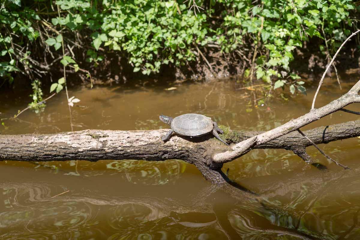Schildkröte am Ropotamo-Fluss