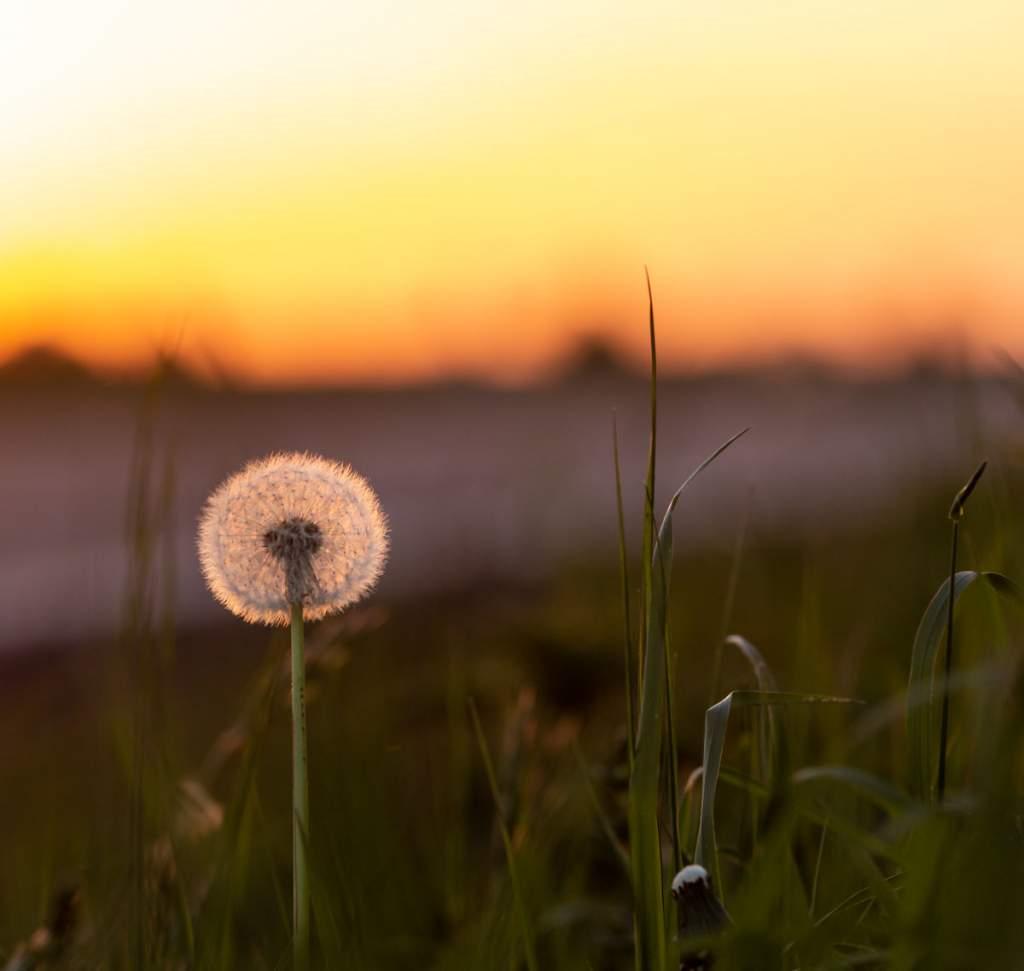 Pusteblume Sonnenuntergang