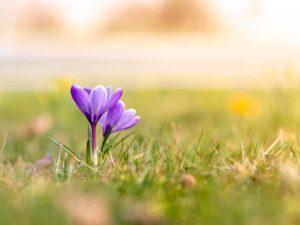 Bild 0055 | Krokusse im Frühling