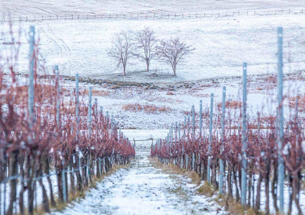 Weinreben im Schnee